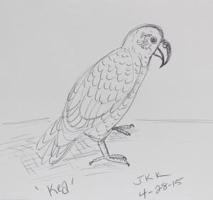 Kea bird sketch
