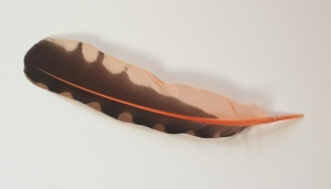 Northern Flicker Woodpecker feather