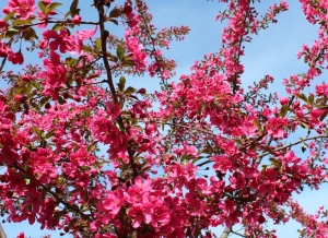 The crabapple tree in bloom