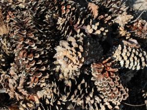 A pile of pinecones