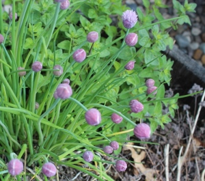 Chives and oregano
