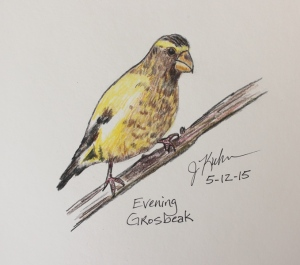 Evening Grosbeak in color pencils