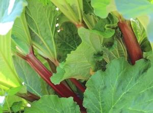 Rhubarb - 1