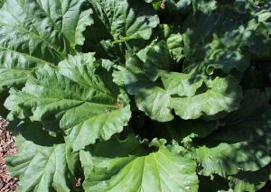 rhubarb - 3