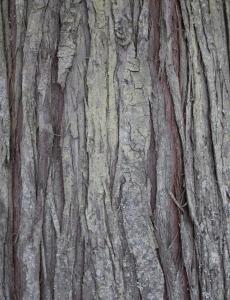 Cedar Tree bark