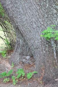 white pine tree bark