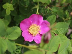Wild Rose - 1