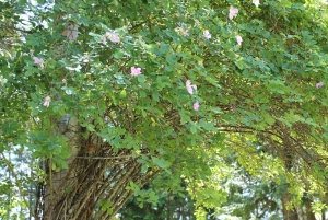 wild rose bush for plein air painting