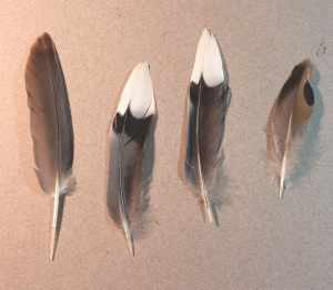 Mourning Dove feathers