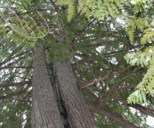 amazing cedar tree