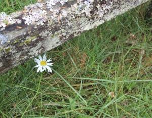 daisy under fence post