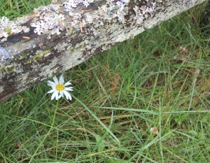 daisy under fence post