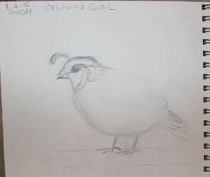 CA Quail - quick sketch 1