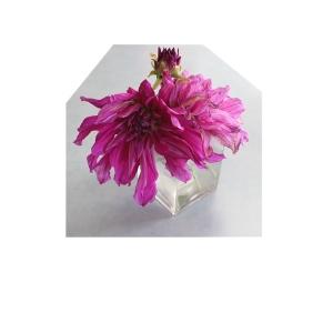 Dahlia in vase