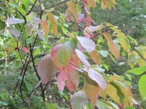 Leaves changing on bush near Sue & John