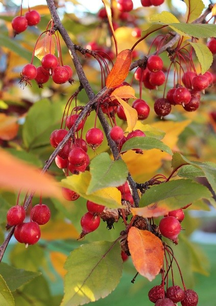 upclose fall crabapple tree