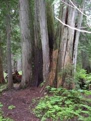 cedar trees in the woods